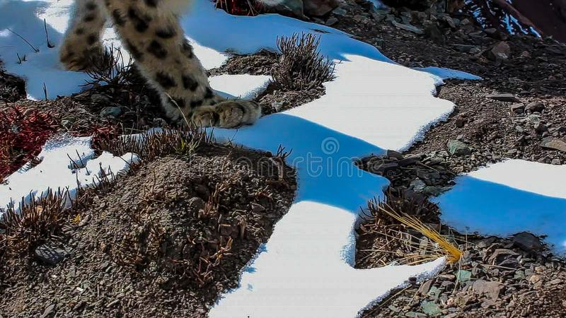 Uncia do Panthera do leopardo de neve na cena da neve do inverno fotos de stock royalty free