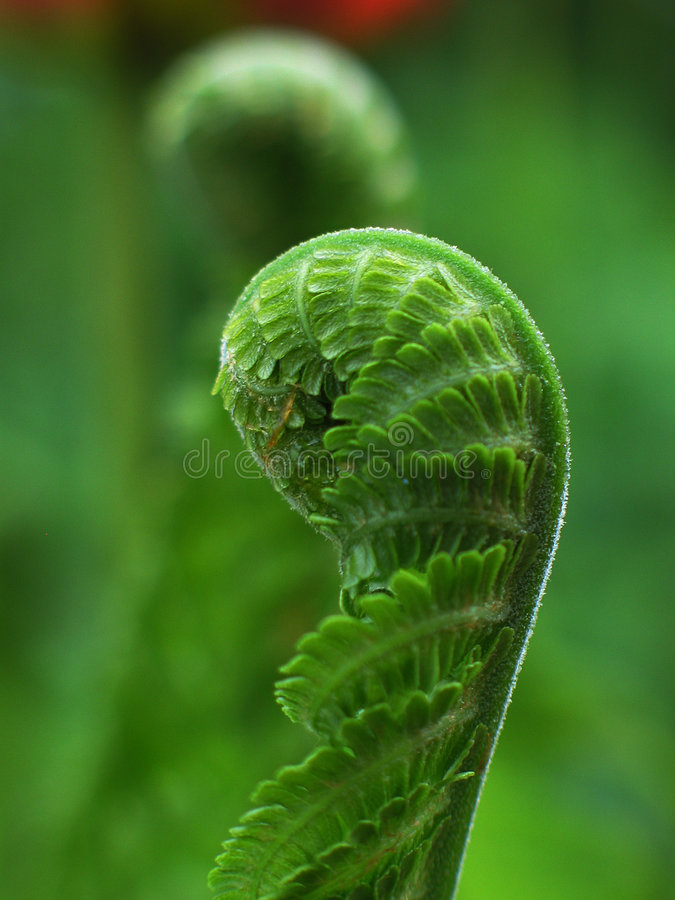 Uncoil fern royalty free stock photography