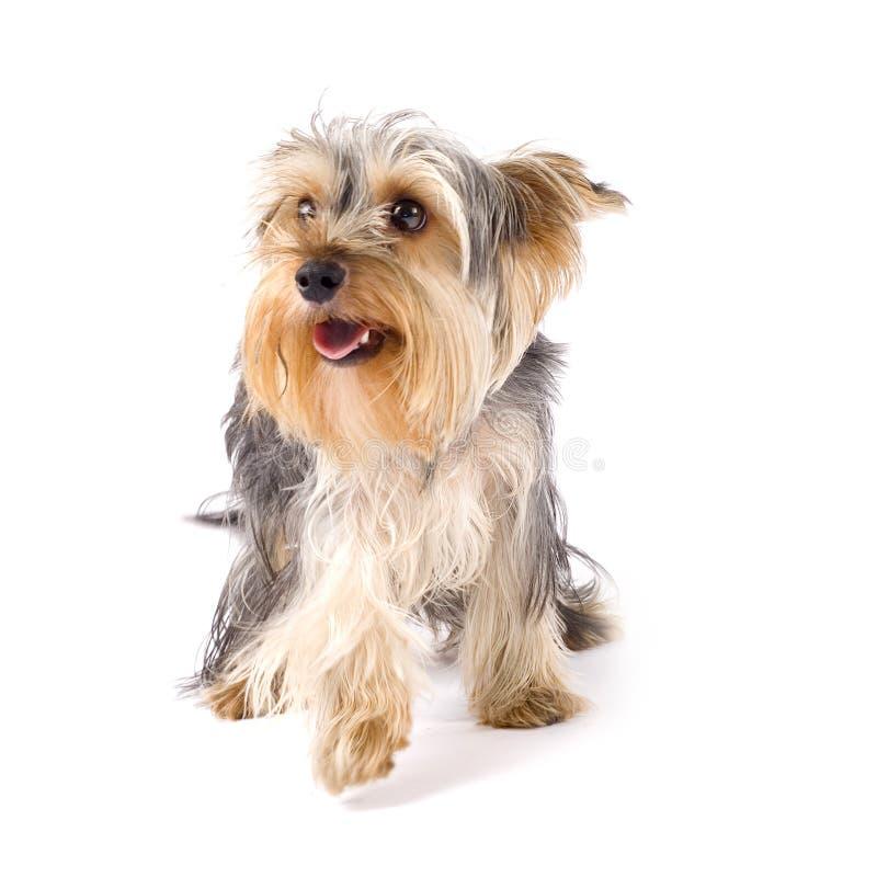 Uncombed Welpenyorkshire-Terrier lizenzfreie stockfotos