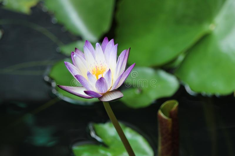 Unusual purple and white bicolour water lily. Uncommon purple and white tropical water lily balanced colour to the tips royalty free stock photos