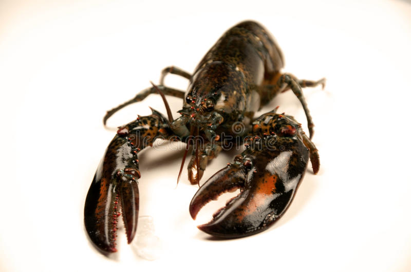 Uncooked Lobster royalty free stock photo