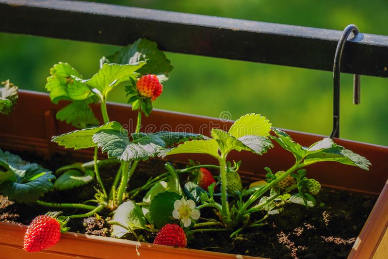 Uncultivated home bred fresh strawberries in the pot on the branches close up view in summer sun light royalty free stock image