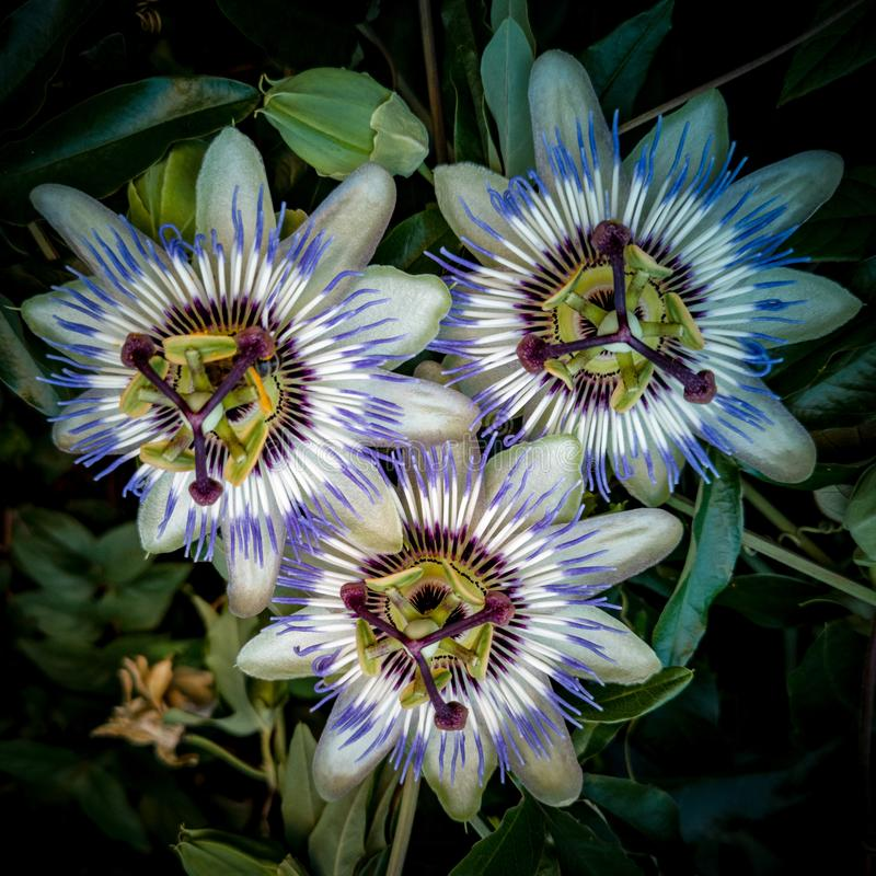 Three Passion Flowers Close Up Macro Uncut stock images