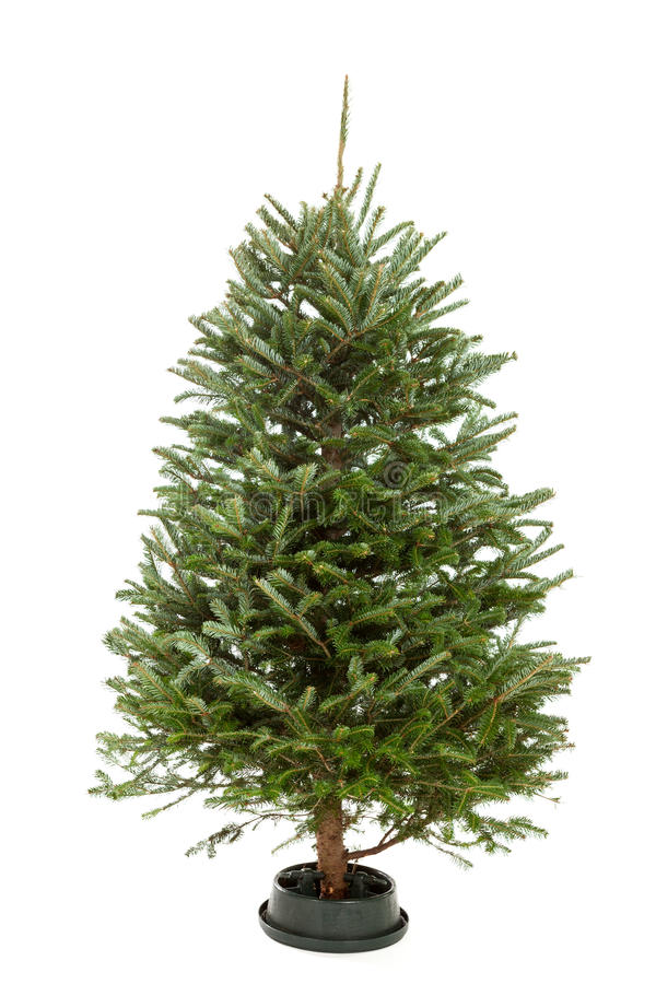 Free Undecorated Christmas Tree Royalty Free Stock Photography - 34345217