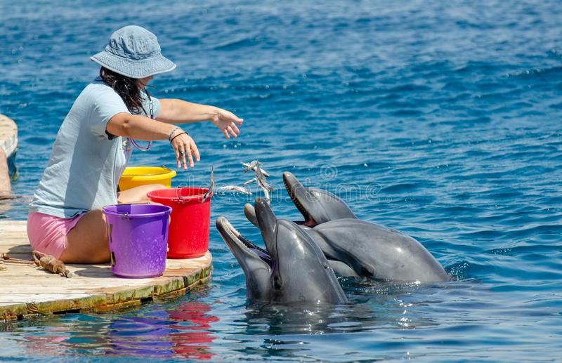 The undefined girl trainer feed the pair of dolphins at the Dolphin Reef in Eilat, on the shores of the Red Sea. Israel royalty free stock photos