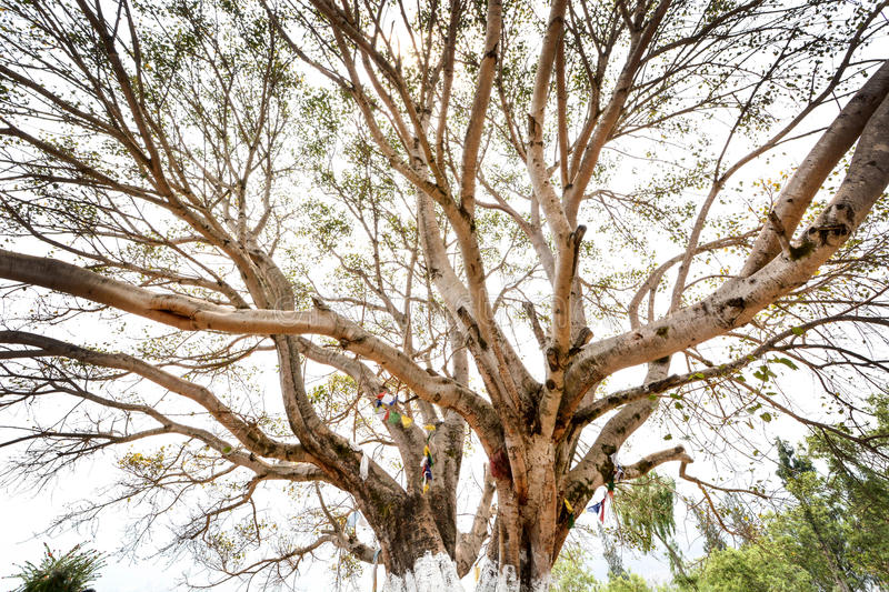 Under the big tree in Chimi Lhakhang - Bhutan royalty free stock photography