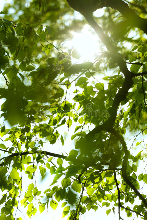 Under the birch. In the shade of the birch stock photography