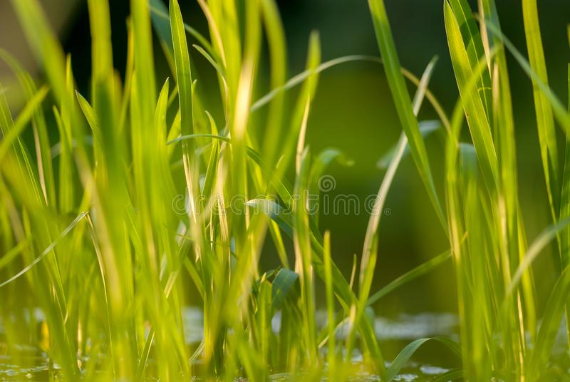 Under the bright sun. Abstract natural backgrounds. Fresh green spring grass on the water surface with the selective royalty free stock images