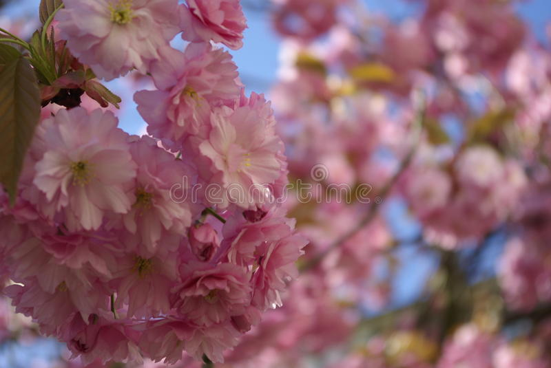 Under the cherry blossom tree, focus on detail stock images