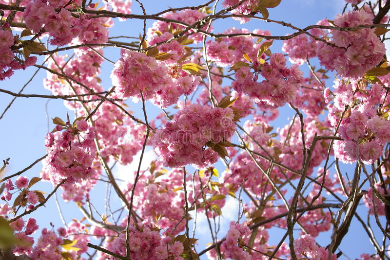 Under the cherry blossom tree multiple flowers royalty free stock photo