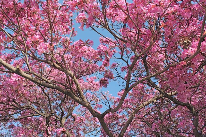 Under Cherry Blossoms fotografering för bildbyråer