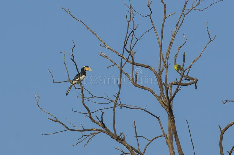 Female Malabar Pied Hornbill. Under clear blue skies, perching on one side of a bare tree sits a female Malabar Pied Hornbill, facing a Yellow-legged green stock images