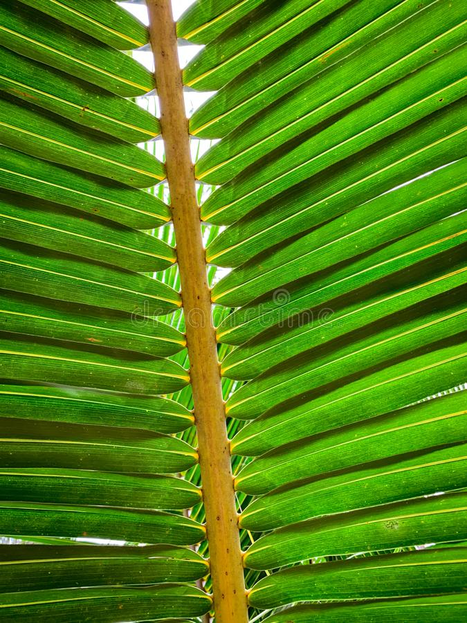 Under coconut leaves and stalk at tropical beach. Closeup palm tree. Coconut leaves pattern. Summer vacation background. Texture royalty free stock photo