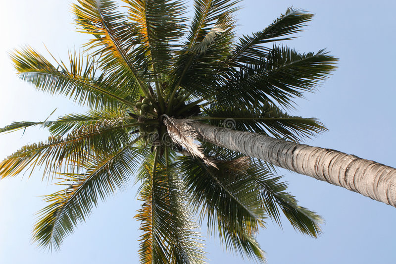 Download Under the Coconut Tree stock photo. Image of tree, upwards - 472022