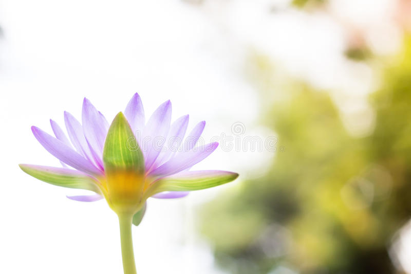 Under den Lotus för sikt den härliga purpurfärgade blomman eller näckrons på suddighet b arkivbild