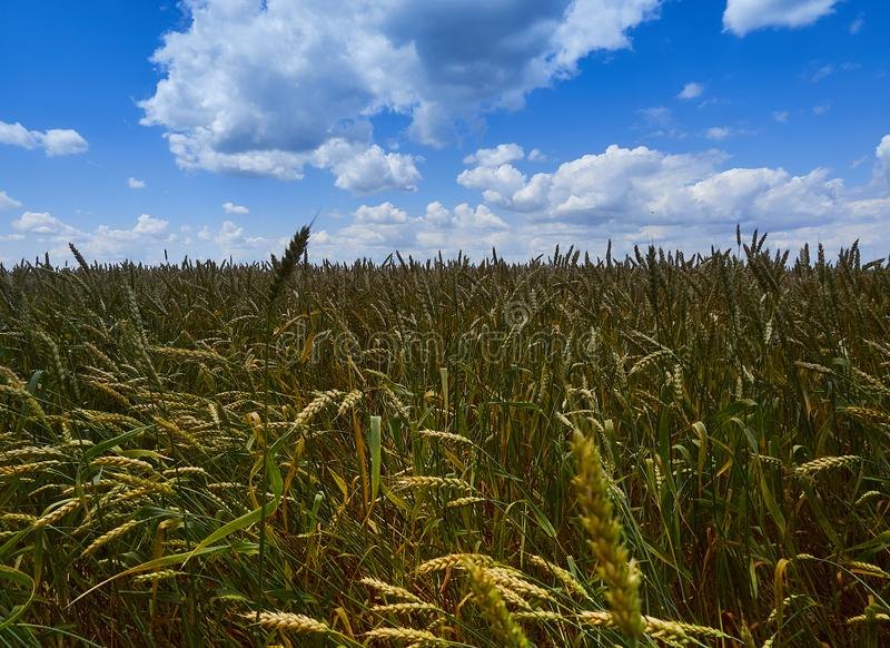 Under the endless blue sky, lies the same boundless field of wheat. royalty free stock images