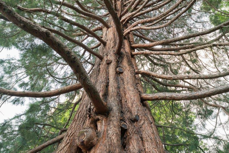 Under giant oak tree, New Zealand royalty free stock photography