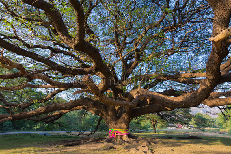 Under the Giant tree royalty free stock photo
