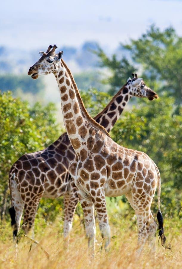 Under glänsande en Rothschild för sol två giraff (Giraffacamelopardalis) stå på ett träd med de korsade långa halsarna royaltyfri foto