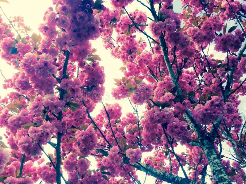 Under A Kwanzan Flowering Cherry Tree Free Public Domain Cc0 Image