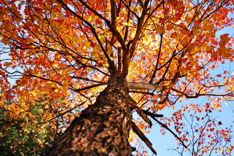Under a maple tree royalty free stock image