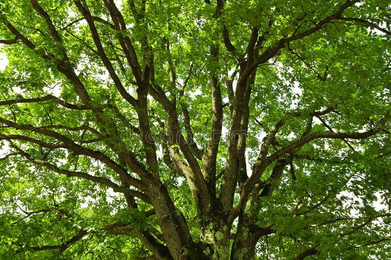 Download Under an oak tree stock photo. Image of high, forest - 14859222