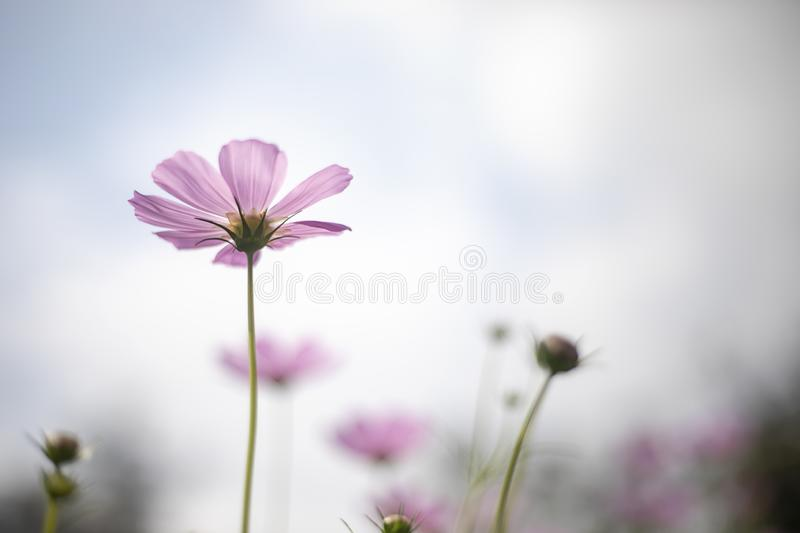 Under pink cosmo flower and blue sky background royalty free stock photography