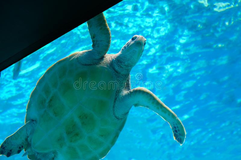 Under a sea turtle perspective view that swimming in the water in tank. Under a sea turtle perspective view that swimming in the water in glass tank royalty free stock images
