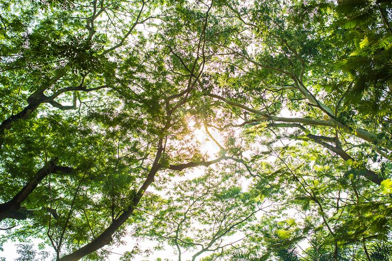 Under shade of giant tree from bottom view. can be use to natural background, royalty free stock photos