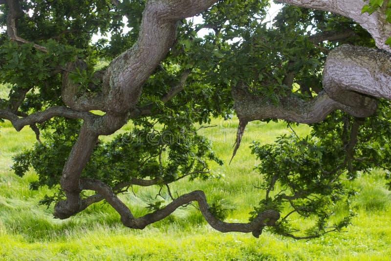Under-sidan av de nedböjda lövruskorna av en gammal engelsk ekvisning förgrena sig, fattar och sidor royaltyfri bild