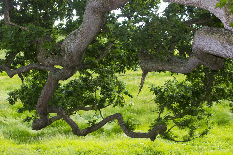 The under side of the drooping boughs of an old English oak tree showing branches, twigs and leaves royalty free stock image
