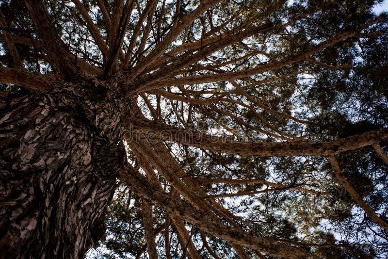 Under skuggan av ett stort högväxt stort robust forntida träd med himmelbakgrund Gammalt skogområde Naturlig härlig miljö Sceni arkivbild