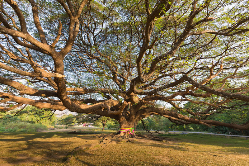 Under stand alone big giant tree royalty free stock photography