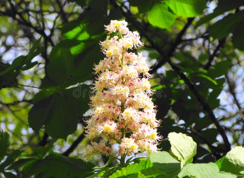Under the sun bloomed chestnut royalty free stock photo