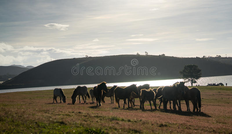 Under the Sunlight, wild horses eat the glass by the lake. Wild horse on pink glass fiield, the field near by Lake, in the weeken some people camping here royalty free stock photos