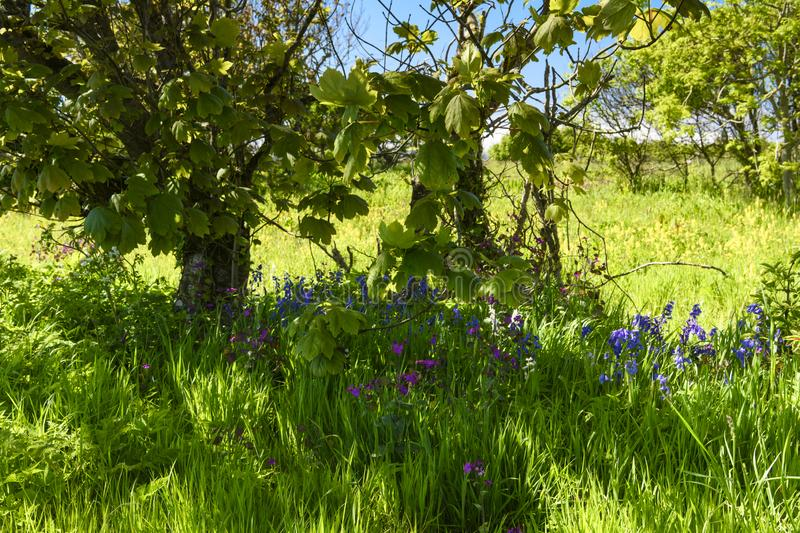 Under the Sycamore. Bluebells, Hyacinthoides non-scripta, and Honesty, Lunaria annua, under Sycamore trees, Acer pseudoplatanus, in Caithness, Scotland. 29 05 royalty free stock image