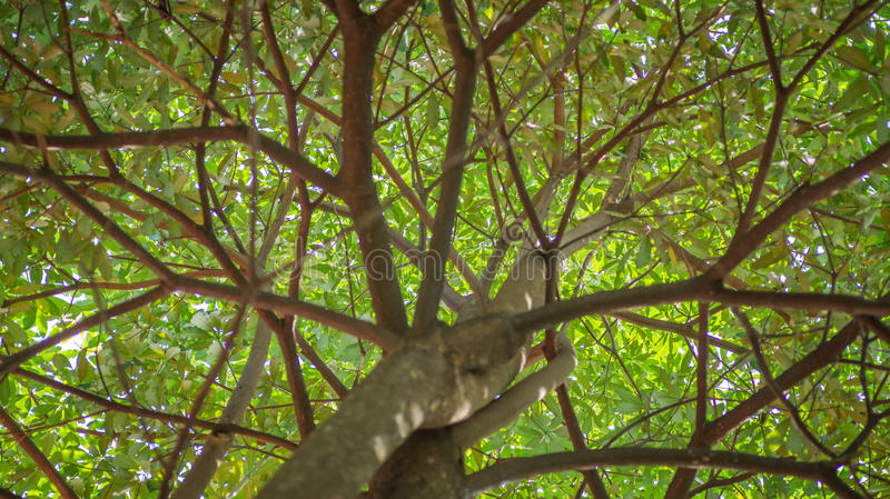 Under the tree. A canopy of tree with green yellowish leaves looked from below stock image