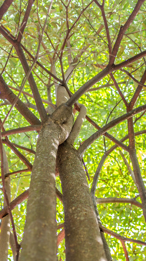 Under the tree. A canopy of the tree with green yellowish leaves looked from below royalty free stock images