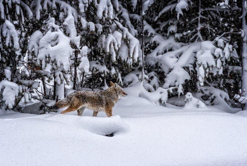 Under tungt snöfall jagar prärievargen för rov arkivbilder