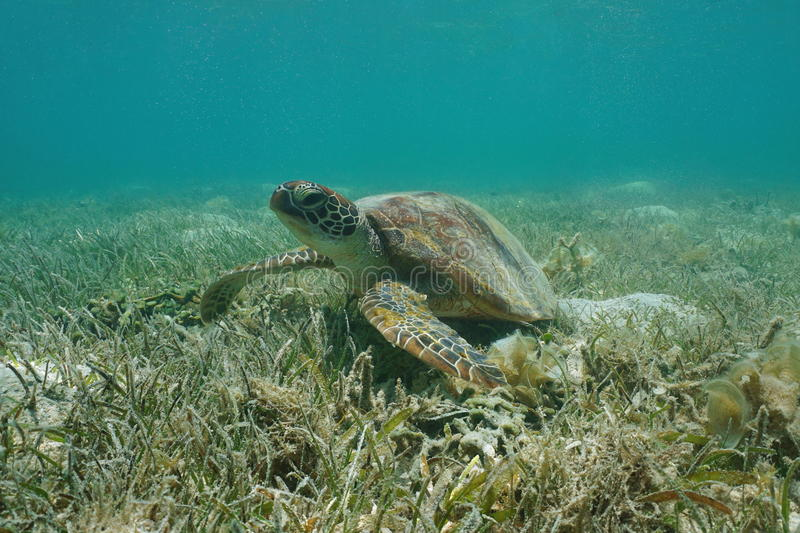 Under water green sea turtle grassy seabed Pacific. Under water green sea turtle, Chelonia mydas, on a grassy seabed, south Pacific ocean, lagoon of Grand-Terre stock photos