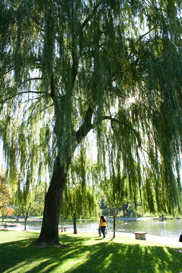 Under a Willow Tree. In a Cleveland park stock photography