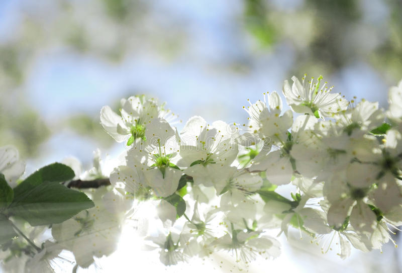 underbar blomningtree royaltyfria foton