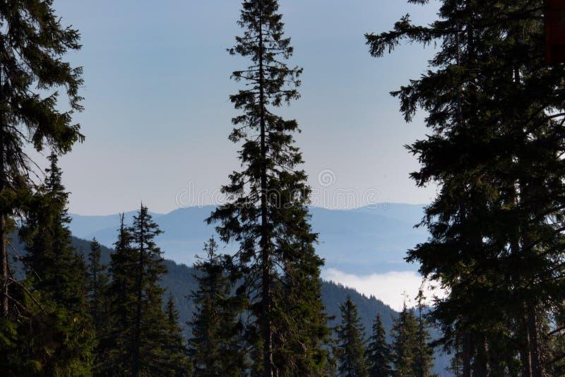 Underbar sikt av Carpathians berg med hög barrträdförgrund Skogberg med moln och dimma royaltyfria bilder