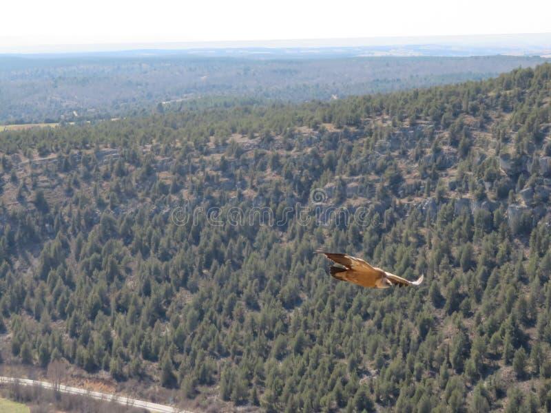 Underbar stor fågel i flykten som tycker om vinden fotografering för bildbyråer