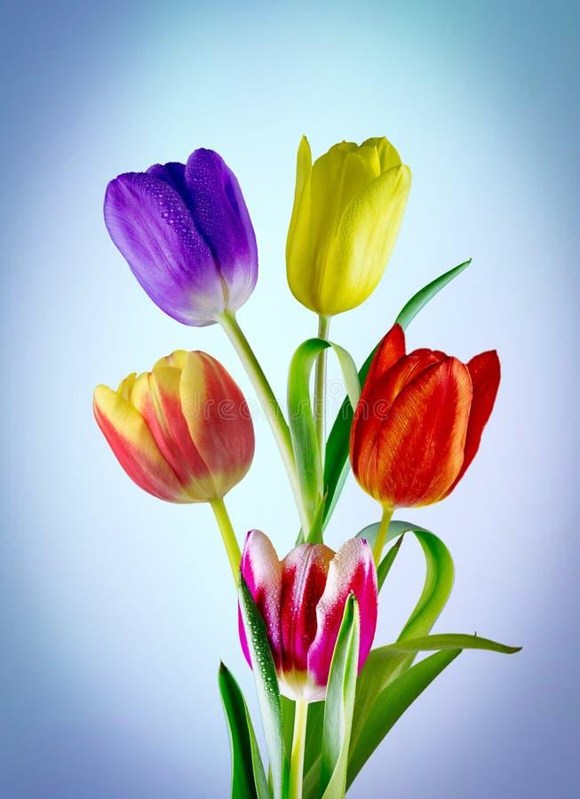 Underbara färgade tulpan royaltyfria bilder