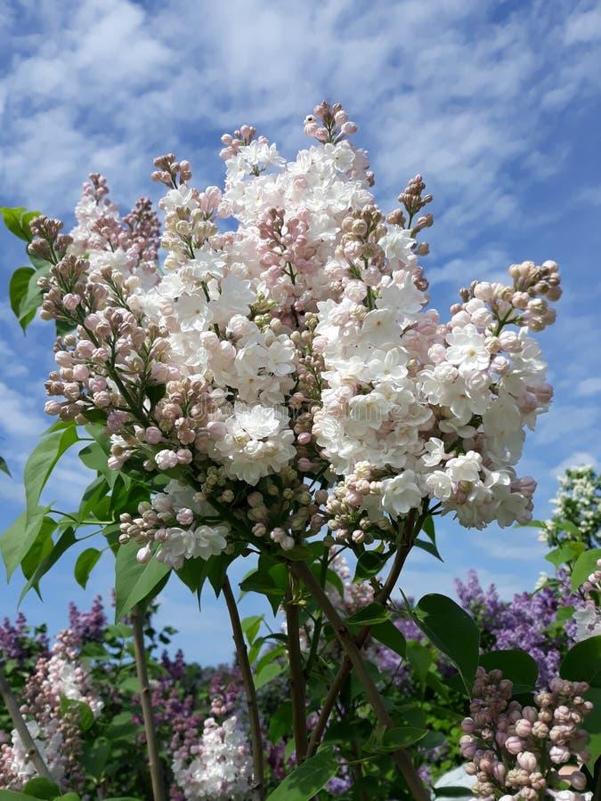 Underbara lila blommor, molnigt cky arkivfoton