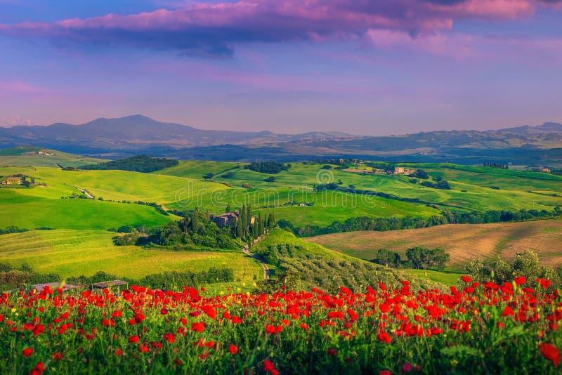 Underbara röda vallmo blomstrar på ängar i Tuscany, Pienza, Italien royaltyfri foto