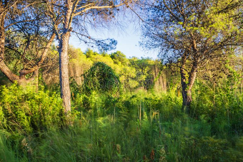 Underbrush landscape inside the pine forest next to Policoro beach royalty free stock images