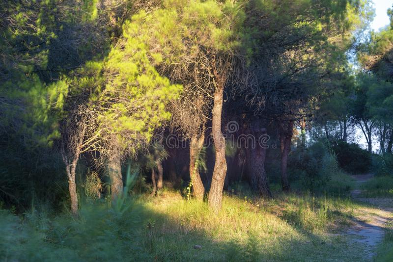Underbrush landscape inside the pine forest next to Policoro beach stock image