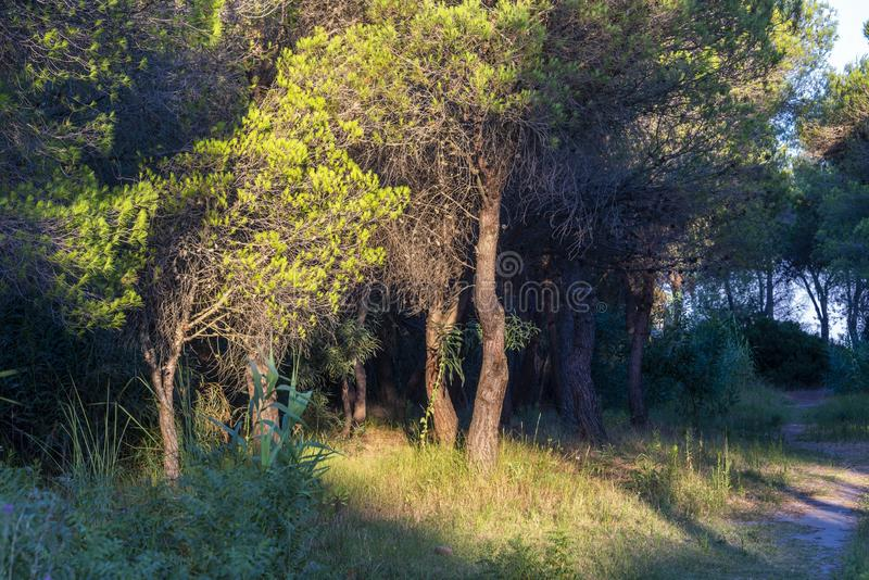 Underbrush landscape inside the pine forest next to Policoro beach stock photography